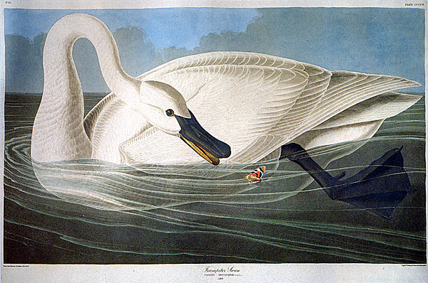 John James Audubon: Trompeterschwan aus ''The Birds of America'' Date : 1838