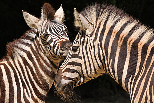 Steppenbewohner Afrikas - Zebras - Foto: © Martina Berg