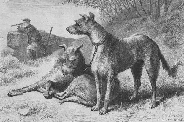 Schottische_Wildhunde
