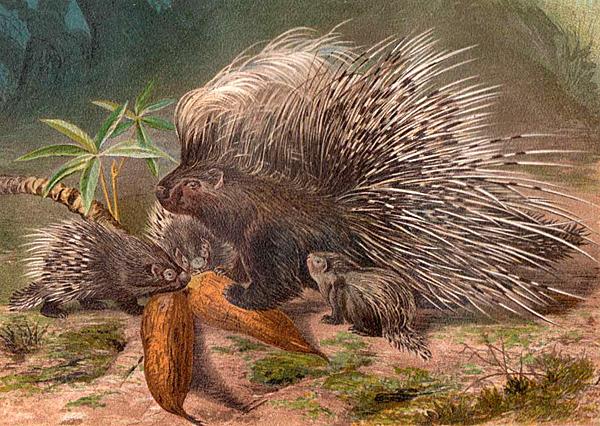 Stachelschweine - Illustration aus der dritten Auflage (1893)