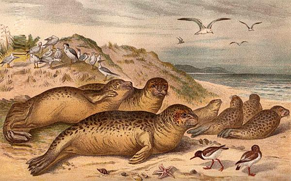 Seehunde - Illustration aus der dritten Auflage (1893)
